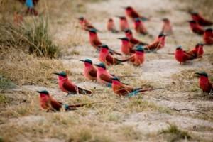 Birds - Carmine Bee-Eaters 2