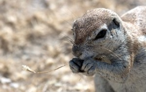 Etosha - Ground squirrel eating