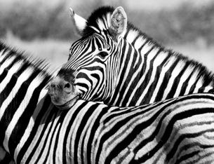 Etosha - Zebras in b/w