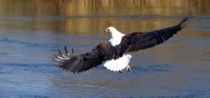 Birds - Fish eagle landing